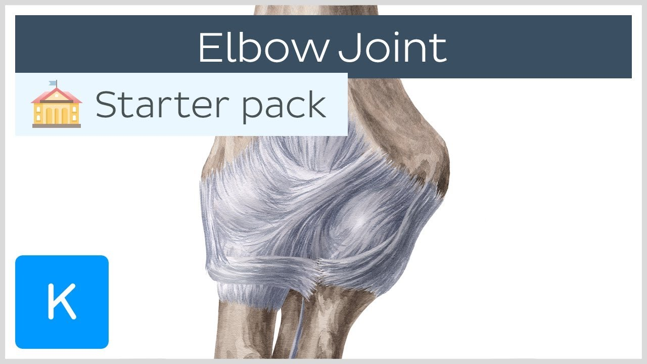 Elbow Joint: Bones, Muscles & Movement - Human Anatomy ...