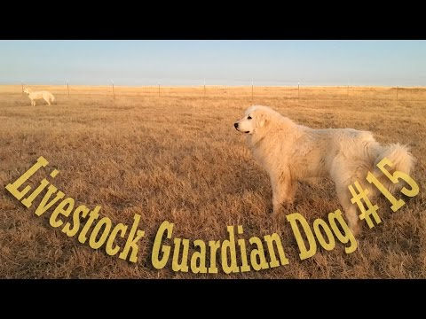 Livestock Guardian Dog Series - Video #15 - Marking the Perimeter