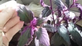 """Загадочное комнатное растение""""Гинуя"""""""