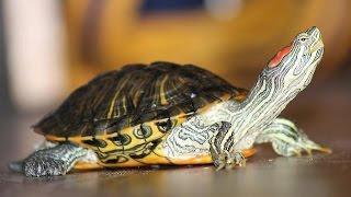 Правильное содержание и уход за красноухими черепахами. (Подпишитесь ПОЖАЛУЙСТА,если не сложно;)