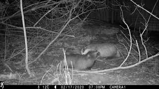 FEBRUARY: Badger sow and youngster grooming each other