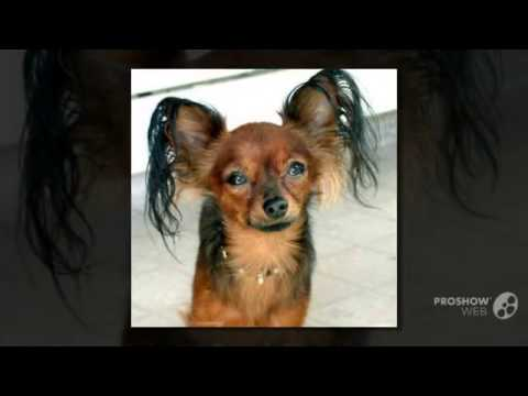 Moscow Toy Terrier Dog breed