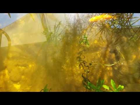 Зелёные нитчатые  водоросли.Способ очистки водоёма!