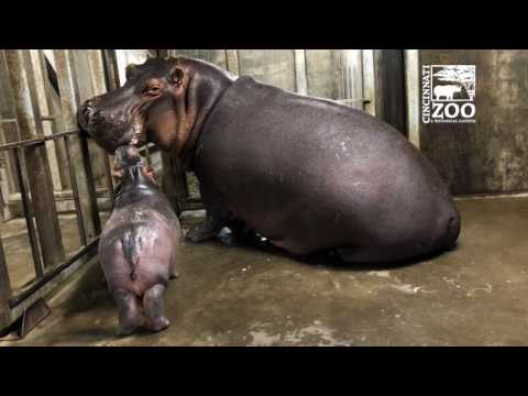 Fiona Spending Time with Her Mom for the First Time - Cincinnati Zoo