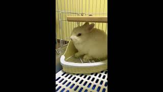 Funny rabbit angry sneezing grunting (tune up volume to hear)