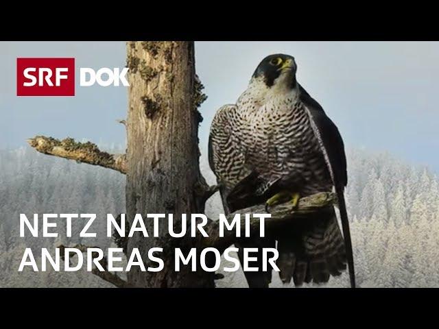 Der Wanderfalken – schnellster Vogel der Welt | NETZ NATUR mit Andreas Moser | Doku | SRF DOK