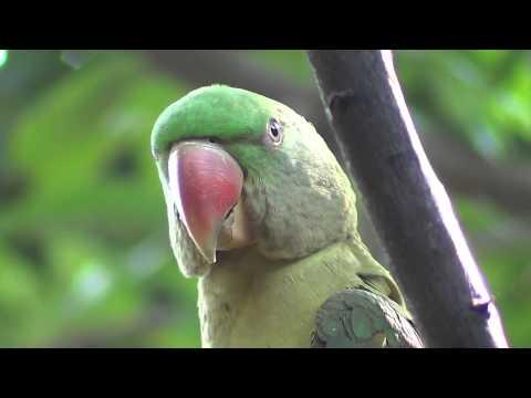 (Kittu) Alexandrine parakeet Voice