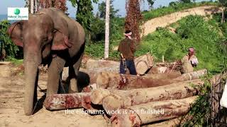 Tamed Elephants work on Slope of Steep Mountains