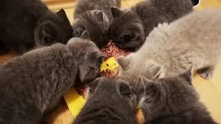 Babycats ASMR
