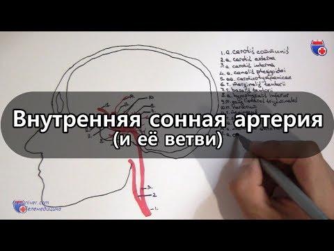 Внутренняя сонная артерия и ее ветви - Meduniver.com