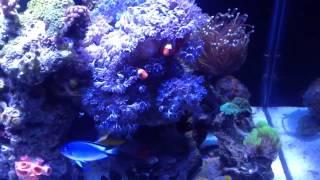 Rimless Tank Deep Blue Professional 57 Gallons- 13th update