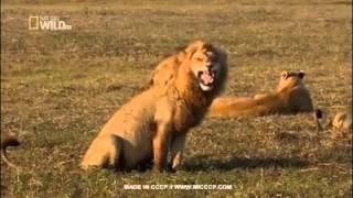 Прикол с львом