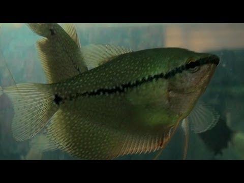 Pearl Gourami, Aquarium Fish