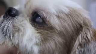 Dermoid In A Shih Tzu's Eye 1/2