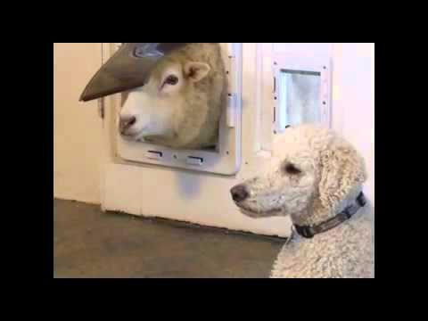 Schaf vs Hundeklappe!