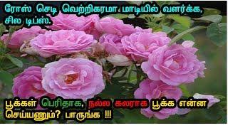ரோஸ் பூக்கள் பெரிதாக நல்ல கலராக பூக்க சில டிப்ஸ் !! - Tips for growing big colorful roses