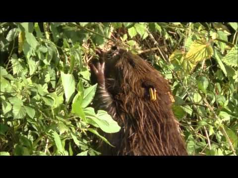 Mother beaver on bank eating - filmed by Tom Buckley