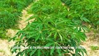 Cassava diseases