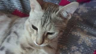 Кот стреляет резинкой. Бенгальский кот Вирсик.
