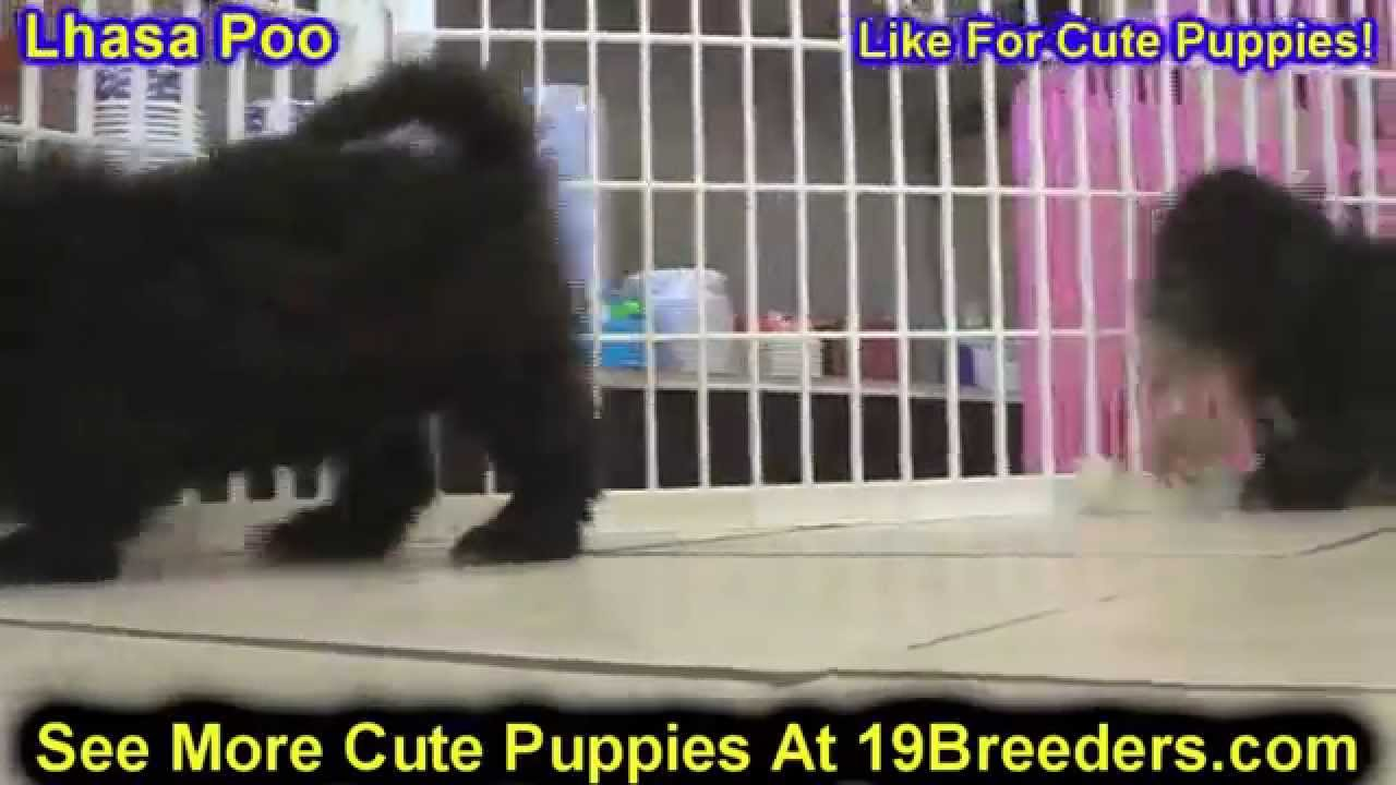 Lhasa Poo, Puppies, Dogs, For Sale, In Chicago, Illinois ...