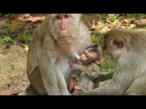 What Happens To This New Baby? Poor Baby Pretends To Be Unconscious, Monkey Recorder