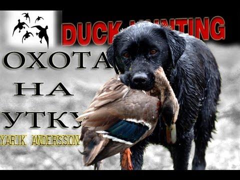 Вопрос: Для охоты на уток какие используются породы собак?