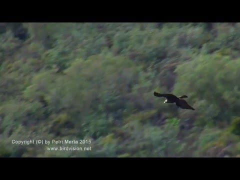 Spanish Imperial Eagle –Aquila adalberti