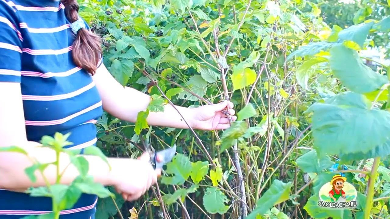 Обрезка малины осенью после сбора урожая