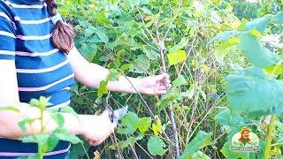 Обрезка малины осенью (после сбора урожая)(Опытные садоводы знают, что обрезать малину следует после сбора урожая. Почему? Смотрите этот ролик с объяс..., 2013-08-06T19:04:14.000Z)