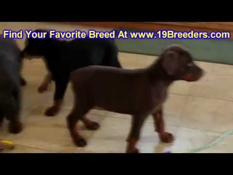 Doberman Pinscher, Puppies, Dogs, For Sale, In Miami, Florida, FL, 19Breeders, Tallahassee