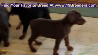 Doberman Pinscher, Puppies, For, Sale, In, Chicago, Illinois, Il, Carol Stream, Streamwood, Plainfie