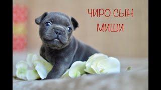 Чиро сын Миши ! Голубой французский бульдог. French Bulldog