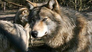"Молодая волчица .Film ""Ron Untergendler"""