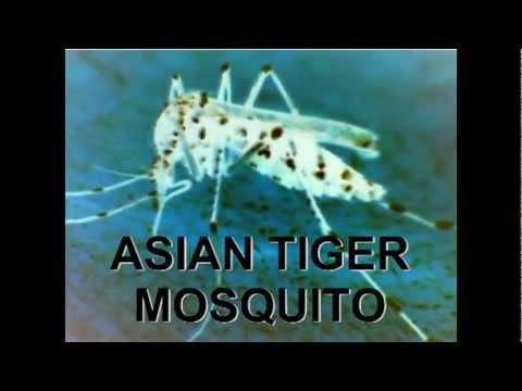 ASIAN TIGER MOSQUITOES INVASION