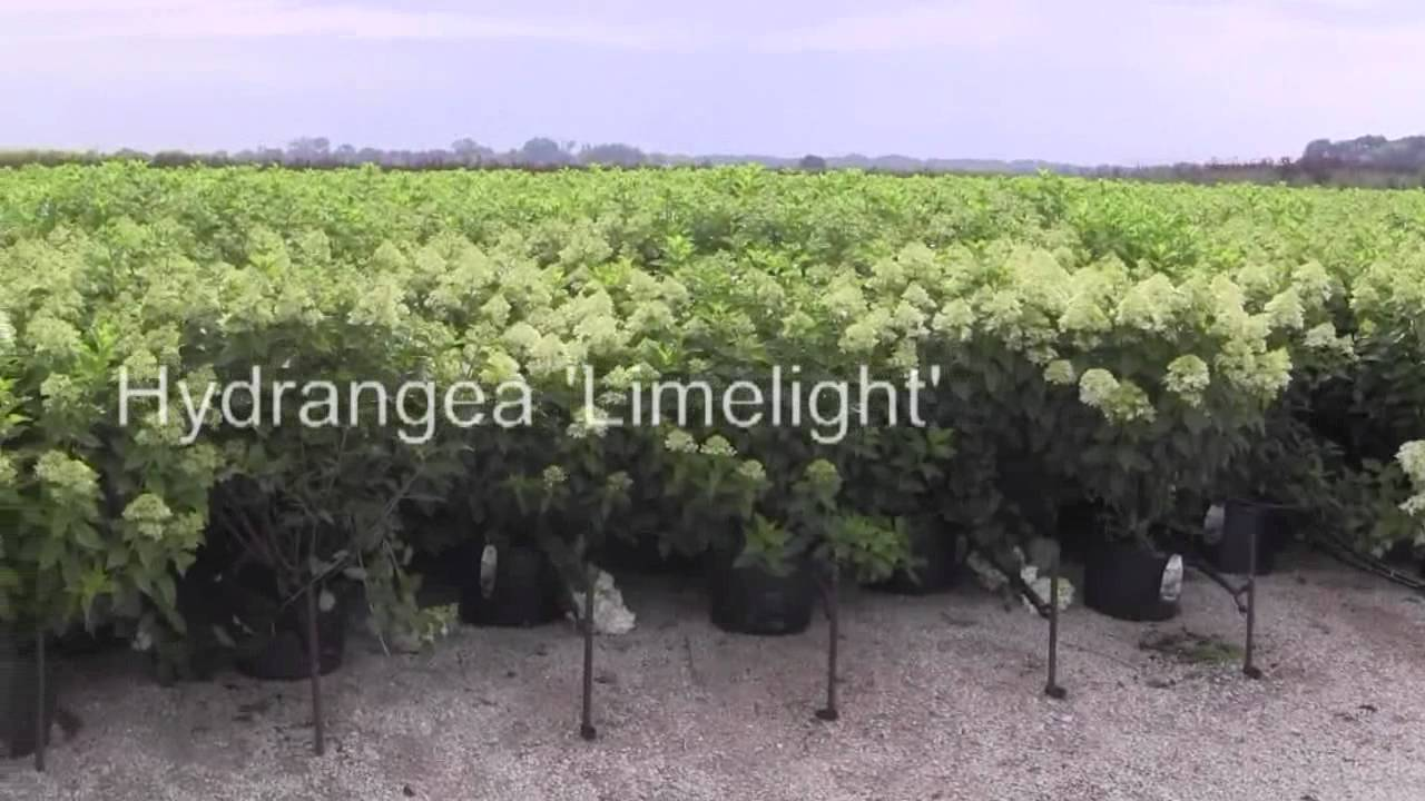 hydrangea paniculata 39 limelight 39 youtube. Black Bedroom Furniture Sets. Home Design Ideas