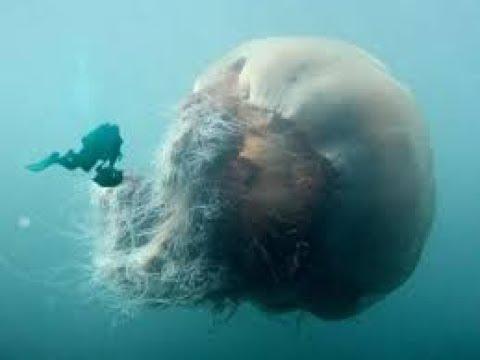 Грандиозных размеров медуза Cyanea capillata arctica или Цианея гигантская