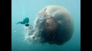 Самая большая медуза Cyanea capillata arctica или Цианея гигантская