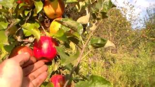 видео Саженцы яблони низкорослой : Саженцы яблони Сорт Ред Топаз