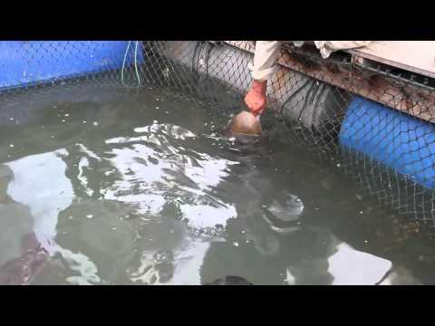 Fish farm langkawi malaysia youtube for Fish farm 3