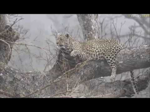Safari Live : Leopards, Hosana and Shadow along with Hyenas on drive this morning Oct 17, 20