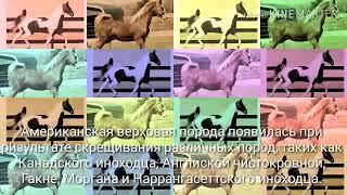 Американская Верховая лошадь. Информация о породе лошади Американская верховая.