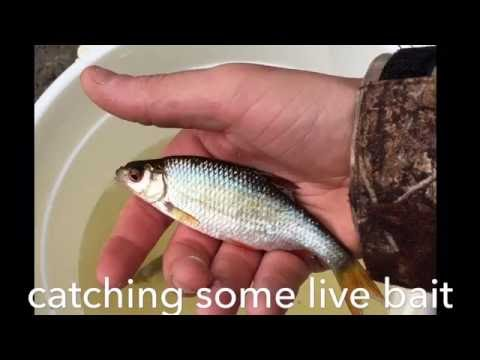 Live bait, pike fishing.
