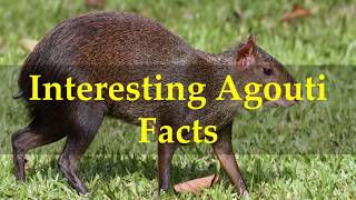 Interesting Agouti Facts