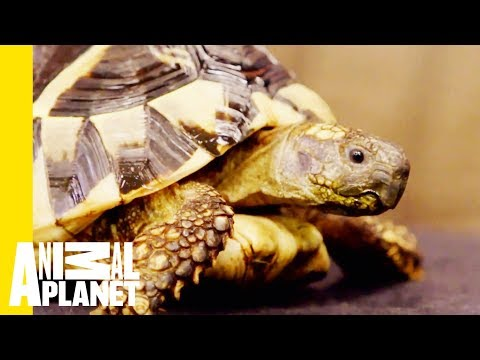 The Hermann's Tortoise Is The Most Low-Maintenance Pet   Scaled