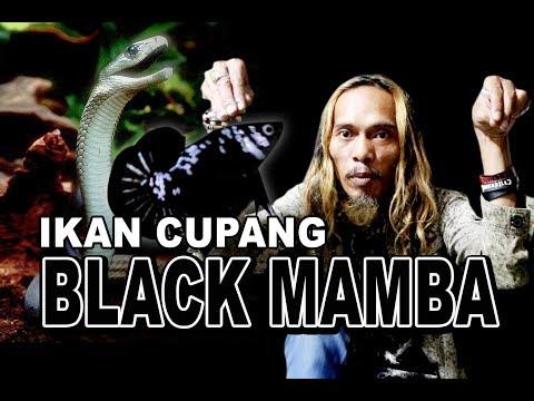IKAN CUPANG BLACK MAMBA