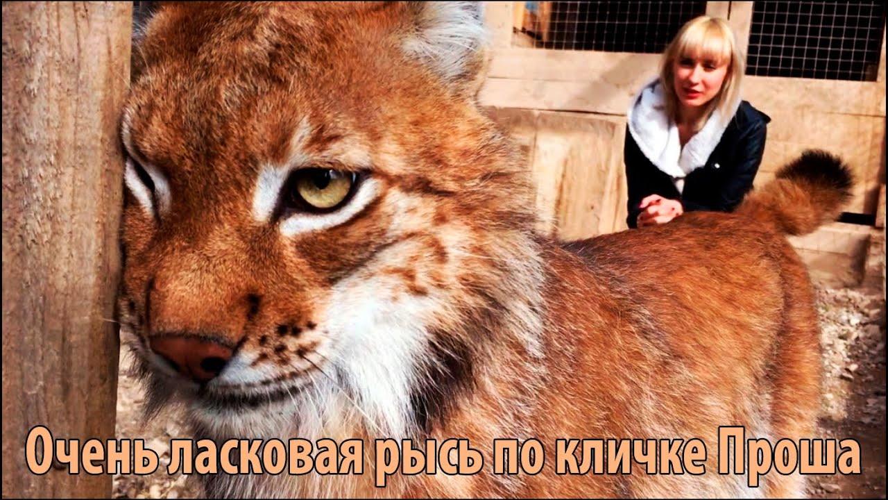 Домашняя рысь котята каракал(саванна) мейн-кун. Как купить котёнка. Пришлите нам личное сообщение, если хотите купить его по дешевой.