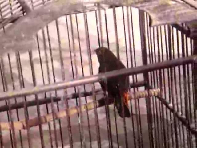 Suara Strawbery Finch Ae5758 Youtube