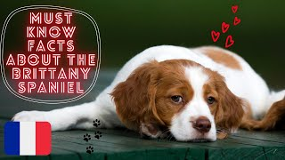 Getting To Know Your Dog's Breed: Brittany Spaniel Edition
