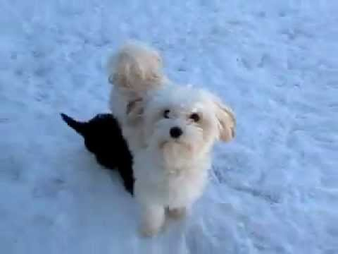 So Cute Havanese Puppies Playing In The
