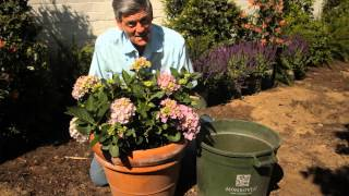 How to Transplant Hydrangeas From a Pot : Garden Savvy
